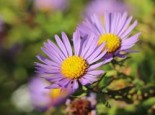 Aromatische Aster 'October Skies', Aster oblongifolius 'October Skies', Topfware