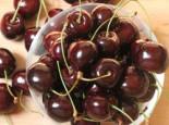 Süßkirsche 'Stella' / selbstfruchtend, Stamm 40-60 cm, 120-160 cm, Prunus 'Stella', Wurzelware
