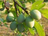 Reneklode 'Große Grüne Reneklode', Stamm 40-60 cm, 120-160 cm, Prunus 'Große Grüne Reneklode', Containerware