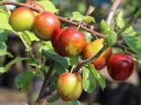 Pflaume 'Königin Viktoria', Stamm 40-60 cm, 120-160 cm, Prunus domestica 'Königin Viktoria', Containerware