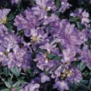 Rhododendron 'Blaubart', 25-30 cm, Rhododendron impeditum 'Blaubart', Containerware