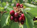 Sauerkirsche 'Heimanns Konservenweichsel', Stamm 40-60 cm, 120-160 cm, Prunus 'Heimanns Konservenweichsel', Wurzelware