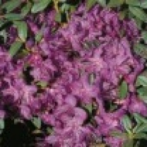 Rhododendron 'Blue Silver', 30-40 cm, Rhododendron hippophaeoides 'Blue Silver', Containerware