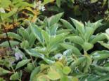 Buntlaubige Hortensie 'Tricolor', 30-40 cm, Hydrangea macrophylla 'Tricolor', Containerware