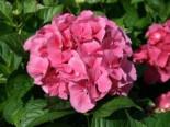 Ballhortensie 'Masja' / 'Sibilla' (rot), 30-40 cm, Hydrangea macrophylla 'Masja' / 'Sibilla' (rot), Containerware
