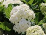 Ballhortensie Endless Summer ® 'The Bride', 30-40 cm, Hydrangea macrophylla Endless Summer ® 'The Bride', Containerware