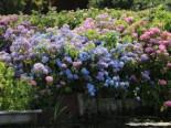 Ballhortensie Endless Summer ® 'The Original' (Blau), 25-30 cm, Hydrangea macrophylla Endless Summer ® 'The Original' (Blau), Containerware