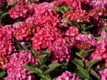 Ballhortensie Royalty® Collection 'Red Angel ®', 30-40 cm, Hydrangea macrophylla Royalty® Collection 'Red Angel ®', Containerware