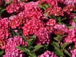 Ballhortensie Royalty® Collection 'Red Angel ®', 30-40 cm, Hydrangea macrophylla Royalty® Collection 'Red Angel ®', Containerware