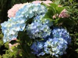 Ballhortensie 'Three Sisters' ® (Blau), 30-40 cm, Hydrangea macrophylla 'Three Sisters' ® (Blau), Containerware