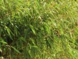 Bambus / Chinarohrgras / Muriel Schirmbambus 'Ivory Ibis' ®, 125-150 cm, Fargesia species 'Ivory Ibis' ®, Containerware