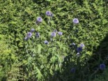 Banater Kugeldistel 'Taplow Blue', Echinops banaticus 'Taplow Blue', Topfware