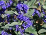 Bartblume 'Grand Bleu' ®, 30-40 cm, Caryopteris clandonensis 'Grand Bleu' ®, Containerware