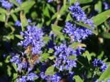 Bartblume 'Kew Blue', 30-40 cm, Caryopteris clandonensis 'Kew Blue', Containerware