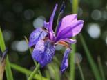 Bartlose Wiesen-Schwertlilie, Iris sibirica, Topfware