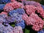 Ballhortensie 'Bouquet Rose', 30-40 cm, Hydrangea macrophylla 'Bouquet Rose', Containerware
