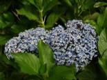 Flieder-Hortensie 'Ayesha' (S), 30-40 cm, Hydrangea macrophylla 'Ayesha' (S), Containerware