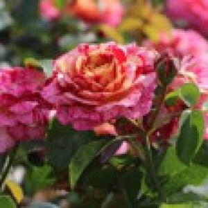 Beetrose 'Abracadabra' ®, Rosa 'Abracadabra' ®, Wurzelware