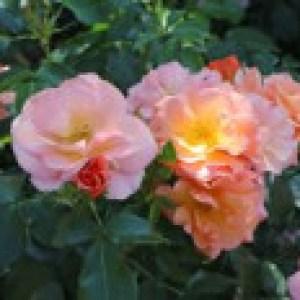 Beetrose 'Aprikola' ®, Rosa 'Aprikola' ® ADR-Rose, Containerware