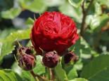 Beetrose 'Red Leonardo da Vinci' ®, Rosa 'Red Leonardo da Vinci' ® ADR-Rose, Containerware