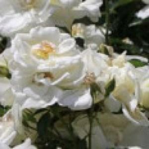 Beetrose 'Schneeflocke' ®, Rosa 'Schneeflocke' ® ADR-Rose, Containerware