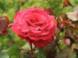 Beetrose / Edelrose 'Duftwolke' ®, Rosa 'Duftwolke' ®, Wurzelware