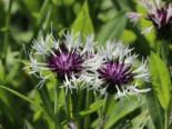 Berg-Flockenblume 'Alba', Centaurea montana 'Alba', Topfware