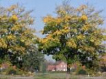 Bergahorn, 125-150 cm, Acer pseudoplatanus, Containerware