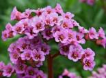 Bergenie 'Rotblum', Bergenia cordifolia 'Rotblum', Topfware