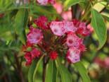 Berglorbeer / Lorbeerrose 'Ostbo Red', 15-20 cm, Kalmia latifolia 'Ostbo Red', Containerware
