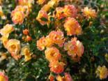 Bodendecker-Rose 'Bienenweide ® Fruity', Rosa 'Bienenweide ® Fruity', Wurzelware