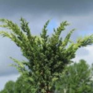 Blaauw's Wacholder, 30-40 cm, Juniperus chinensis 'Blaauw', Containerware