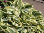 Zweifarbige Herzblattlilie 'Wide Brim', Hosta sieboldiana 'Wide Brim', Topfware