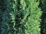 Blaue Kegelzypresse 'Ellwoodii' / Mooszypresse / Scheinzypresse, 30-40 cm, Chamaecyparis lawsoniana 'Ellwoodii', Containerware