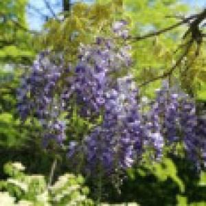 Blauregen, 60-100 cm, Wisteria floribunda, Containerware