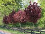 Blut-Ahorn 'Crimson Sentry', Stamm 60 cm, 80-100 cm, Acer platanoides 'Crimson Sentry', Stämmchen