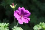 Blut-Storchschnabel 'Ron Leed', Geranium sanguineum 'Ron Leed', Topfware