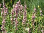 Blut-Weiderich 'Blush', Lythrum salicaria 'Blush', Topfware