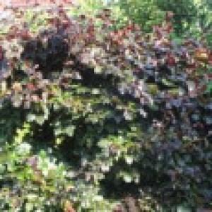 Süntel-Buche / Blutbuche 'Tortuosa Purpurea', 60-80 cm, Fagus sylvatica var. suentelensis 'Tortuosa Purpurea', Containerware
