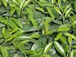 Bodendecker Kirschlorbeer 'Mount Vernon', 20-30 cm, Prunus laurocerasus 'Mount Vernon', Containerware