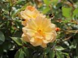 Bodendecker-Rose 'Amber Sun' ® / 'Sonne des Allgäu', Rosa 'Amber Sun' ® / 'Sonne des Allgäu', Wurzelware