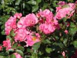 Bodendecker-Rose 'Blühwunder' ®, Rosa 'Blühwunder' ® ADR-Rose, Wurzelware