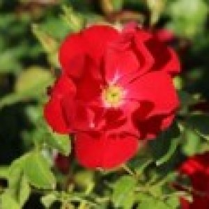 Bodendecker-Rose 'Centro-Rose', Rosa 'Centro-Rose', Topfware