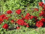 Bodendecker-Rose 'Matador' ®, Rosa 'Matador' ® ADR-Rose, Containerware