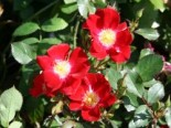 Bodendecker-Rose 'Red Meidiland', Rosa 'Red Meidiland', Containerware