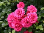 Bodendeckerrose 'Rody' ®, Rosa 'Rody' ®, Topfware