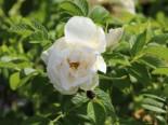Bodendeckerrose 'Schnee-Eule' ®, Rosa rugosa 'Schnee-Eule' ®, Containerware