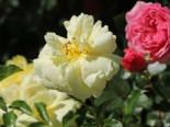 Bodendeckerrose 'Sunny Rose' ®, Rosa 'Sunny Rose' ® ADR-Rose, Containerware