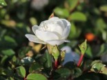Bodendeckerrose 'Swany' ®, Rosa 'Swany' ®, Containerware