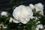 Bodendeckerrose 'White Meidiland' ®, Rosa 'White Meidiland' ®, Containerware